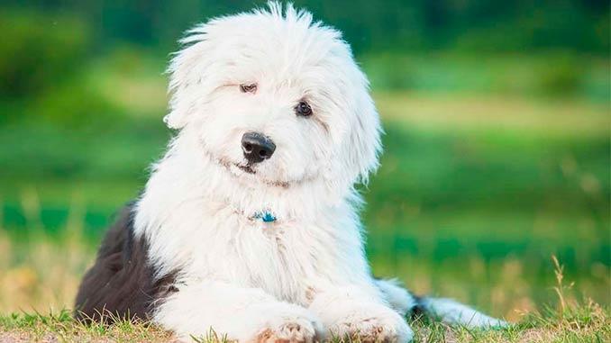 фото щенка бобтейла