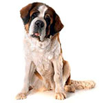 Московская сторожевая фото взрослой собаки