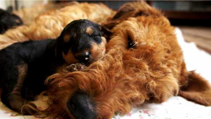 Эрдельтерьер со щенком фото