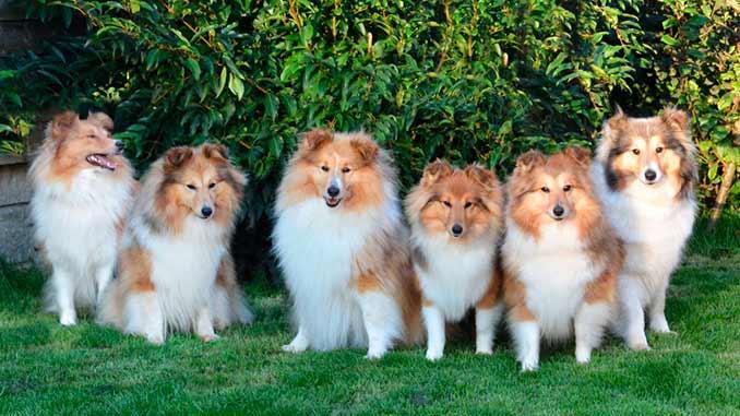 фото собак породы шелти