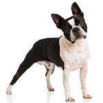 бостон-терьер фото взрослой собаки