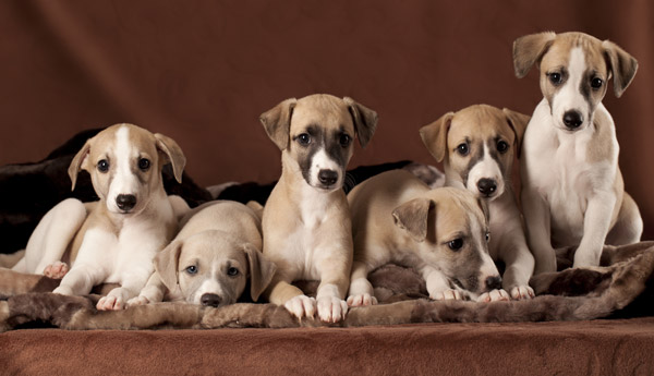 Грейхаунд фото щенков