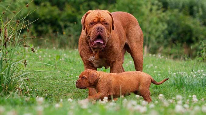 бордоский дог фото со щенком