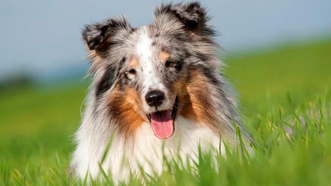 порода собак шелти фото