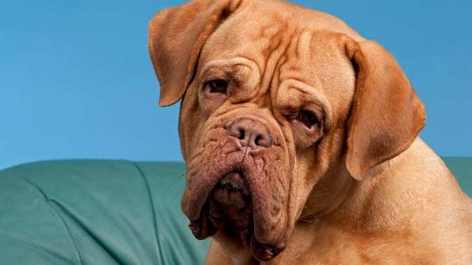 фото собаки бордоский дог