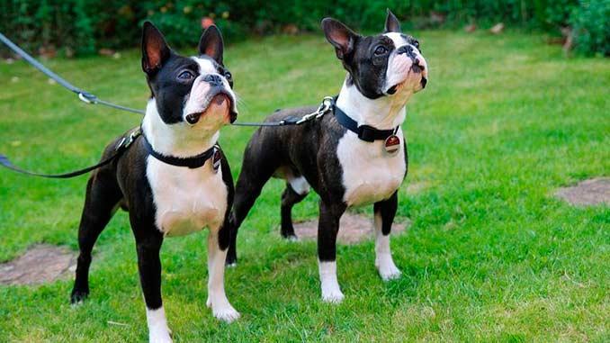 пара собак породы бостон-терьер фото