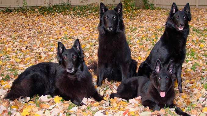 фото собак породы Грюнендаль