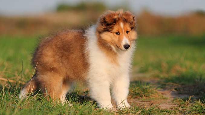 фото щенка шелти