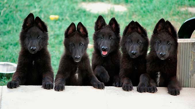 Грюнендаль фото щенков