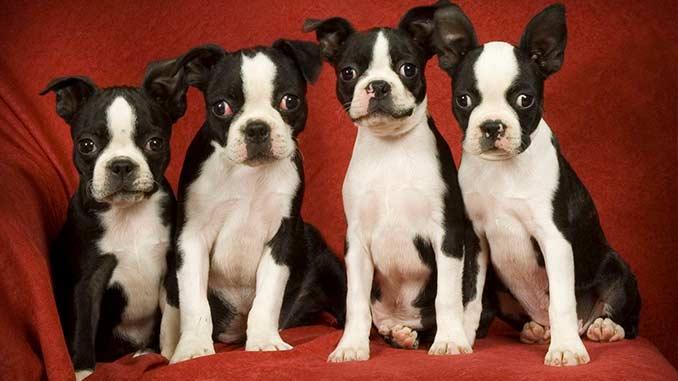 бостон-терьер фото щенков