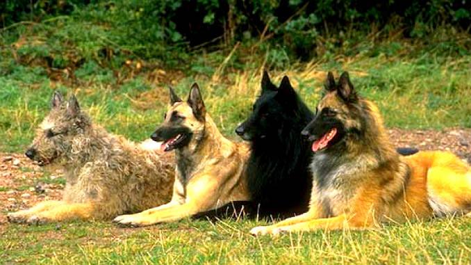 Бельгийские овчарки фото