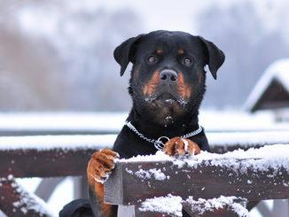 Ротвейлер зимой фото