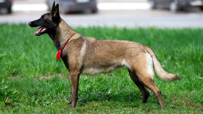 Малинуа (бельгийская овчарка) фото