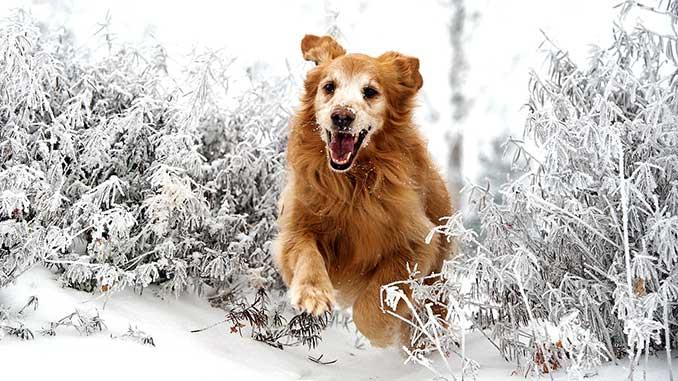 Собака резвится в снегу фото