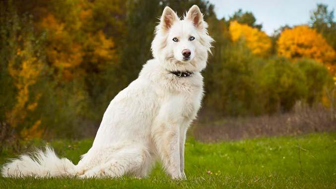 белая якутская лайка фото