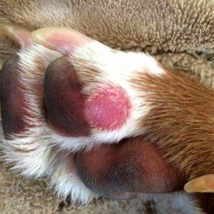 Обморожение лап у собак фото