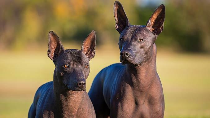 Голая мексиканская собака фото