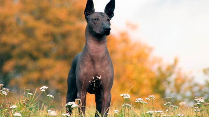 фото собаки Ксолоитцкуинтли