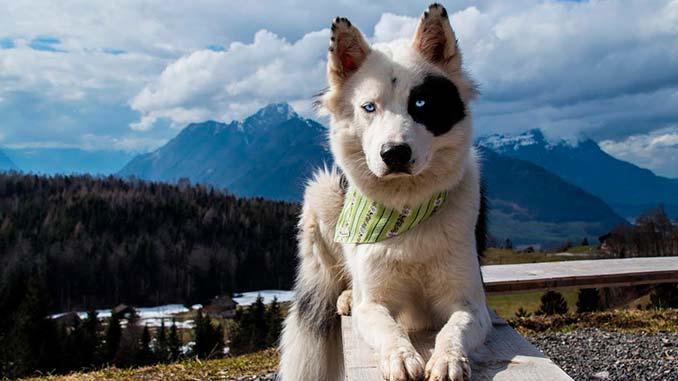 фото якутской лайки