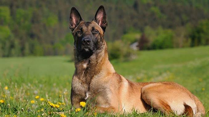 фото собаки породы Малинуа