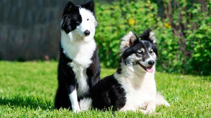 фото собак породы якутская лайка