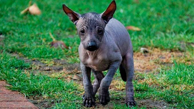 Ксолоитцкуинтли фото щенка