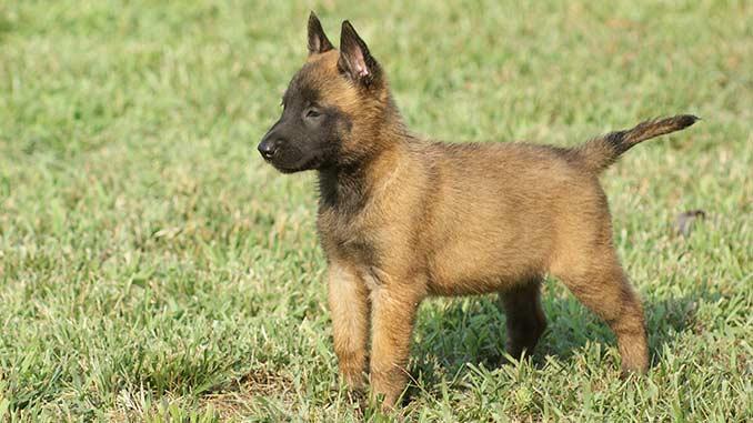 фото щенка Малинуа