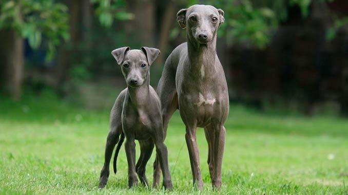 Левретка фото со щенком