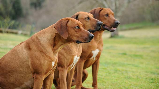 фото собак родезийский риджбек