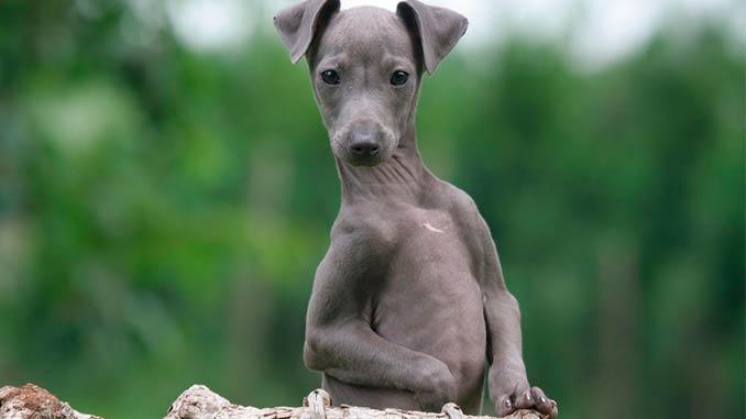 Левретка фото щенка