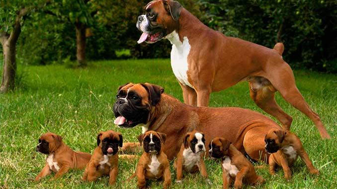 немецкие боксеры со щенками фото