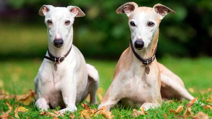 пара собак породы Уиппет фото