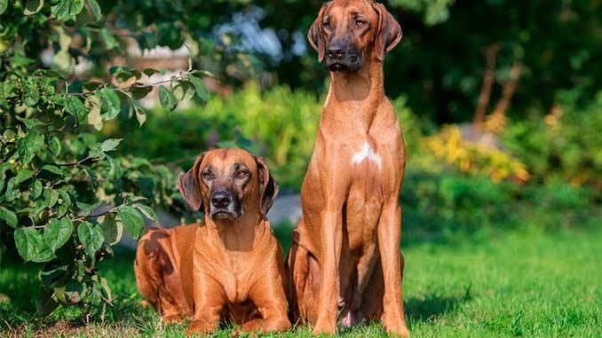 пара собак породы родезийский риджбек фото
