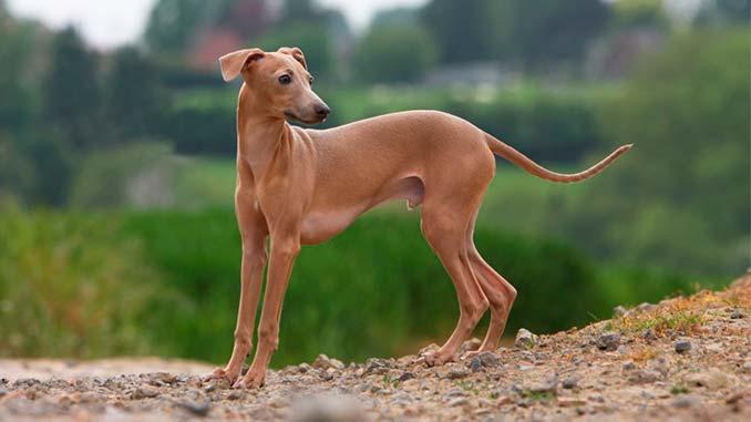 фото собаки породы Левретка