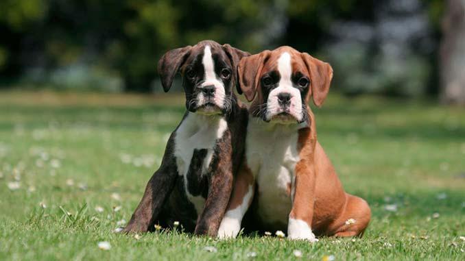 Немецкий боксер фото щенков