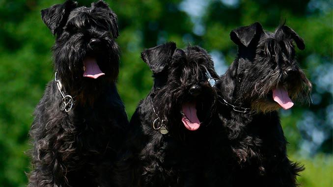 фото собак породы миттельшнауцер