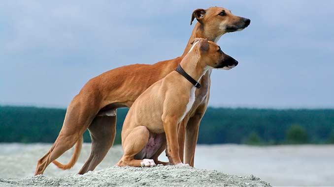 Уиппет фото со щенком