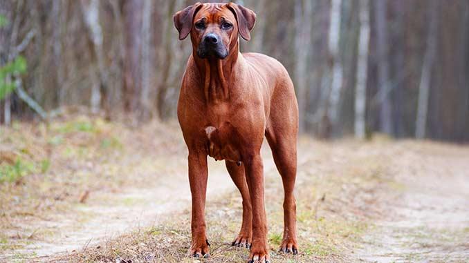порода собак родезийский риджбек фото