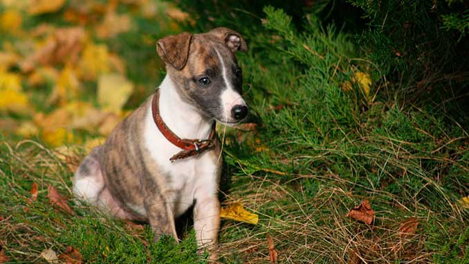 Уиппет фото щенка