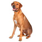 родезийский риджбек фото взрослой собаки