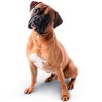 немецкий боксер фото взрослой собаки