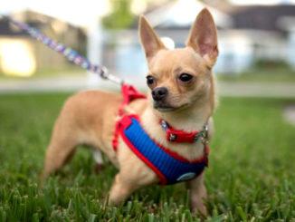 как выбрать шлейку для собаки фото
