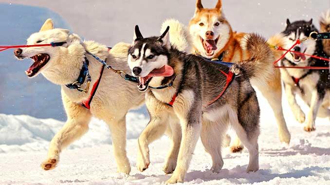 Ездовая шлейка для собак фото