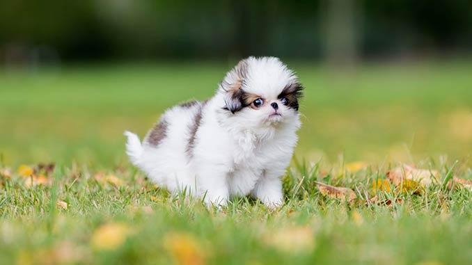 японский хин фото щенка