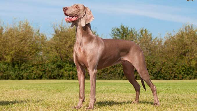фото собаки породы Веймаранер
