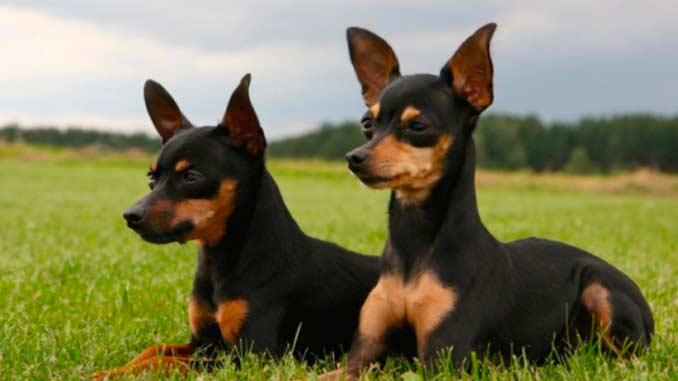 ратлик фото собак