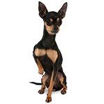 фото собак породы серночка