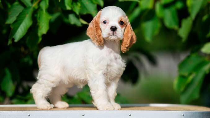 Американский кокер спаниель фото щенка