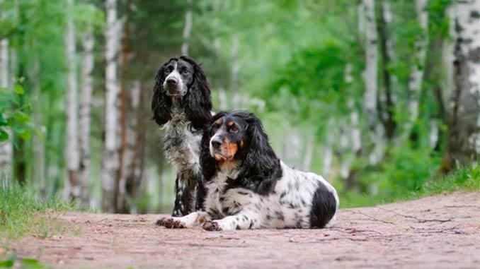 фото собак русского спаниеля