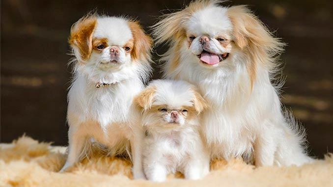 фото собак породы японский хин